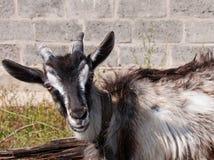 O retrato da cabra Imagens de Stock