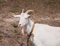 O retrato da cabra branca Fotos de Stock