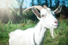 O retrato da cabra engraçada Fotos de Stock