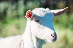 O retrato da cabra engraçada Imagens de Stock Royalty Free