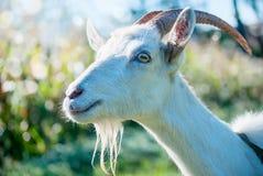 O retrato da cabra engraçada Foto de Stock