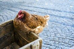 O retrato da galinha empoleirou-se no carro de madeira com a estrada na parte traseira Imagem de Stock Royalty Free