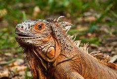 O retrato da iguana bonita Fotos de Stock Royalty Free