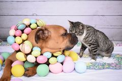 O retrato da Páscoa de um gato de Tabby Manx e um pugilista produzem o cão Fotografia de Stock Royalty Free
