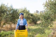 O retrato da terra arrendada feliz da mulher colheu azeitonas na caixa Imagem de Stock Royalty Free