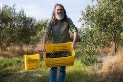 O retrato da terra arrendada feliz do homem colheu azeitonas na caixa Imagens de Stock Royalty Free