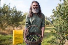 O retrato da terra arrendada feliz do homem colheu azeitonas na cesta Imagem de Stock