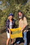 O retrato da terra arrendada feliz dos pares colheu azeitonas na caixa Fotos de Stock Royalty Free