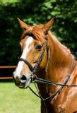 O retrato da vista lateral de um cavalo do adestramento da baía durante o treinamento excede Fotografia de Stock Royalty Free