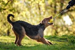 O retrato de Airedale Terrier Foto de Stock