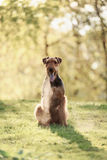 O retrato de Airedale Terrier Imagem de Stock Royalty Free