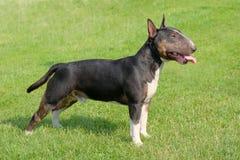 O retrato de bull terrier diminuto Fotografia de Stock