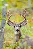 O retrato de cervos de mula buck com antler de veludo fotos de stock