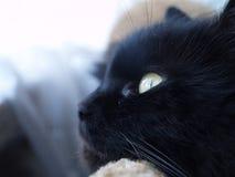 O retrato de gato preto Foto de Stock Royalty Free