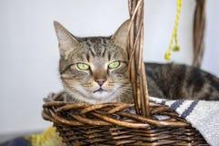 O retrato de mármore doméstico do gato, contato de olho, cara bonito da vaquinha, cal surpreendente eyes foto de stock