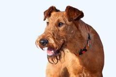 O retrato de Terrier irlandês no fundo branco Imagem de Stock