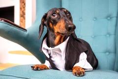 O retrato de um cão do bassê, preto e bronzeado, vestido em uma camisa e em um traje brancos, sentam-se em uma cadeira fácil e ol foto de stock royalty free