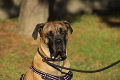 O retrato de um cão do corso do bastão com olhos e a boca macios encheu-se com baba Fotografia de Stock Royalty Free