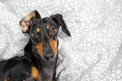O retrato de um cão novo do bassê, preto e bronzeado, joga o macaco em uma cama em casa imagem de stock royalty free