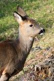 O retrato de um cervo de ovas no inverno reveste Imagem de Stock