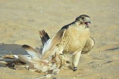 O retrato de um falcão domesticado do deserto catched o chamariz foto de stock royalty free