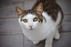 O retrato de um gato branco e listrado fotografou de cima de Fotos de Stock Royalty Free
