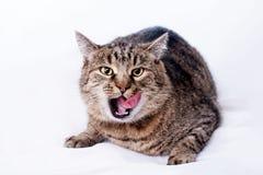 O retrato de um gato cinzento com passado rapidamente para fora tongue a língua, ele imagens de stock royalty free