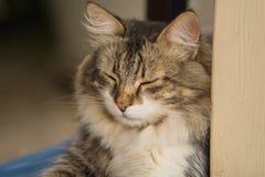 O retrato de um gato listrado cinzento-branco bonito que encontra-se preguiçosamente com seus olhos fechou-se imagem de stock royalty free