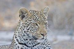 O retrato de um leopardo no parque nacional de Kruger Fotografia de Stock Royalty Free
