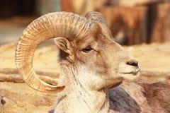 O retrato de uma cabra com chifres grandes Fotografia de Stock