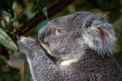 O retrato de uma coala que alimenta na goma sae imagens de stock royalty free