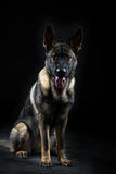 O retrato de uma fêmea nova mullti-coloriu o cão-pastor alemão Fotografia de Stock