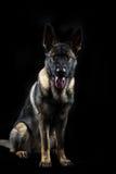 O retrato de uma fêmea nova multi-coloriu o cão-pastor alemão Fotografia de Stock Royalty Free