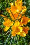 O retrato do açafrão selvagem Flowers Imagem de Stock