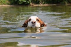 O retrato do cão de natação Foto de Stock Royalty Free