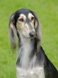 O retrato do cão de Saluki Foto de Stock Royalty Free