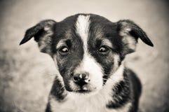 O retrato do cão Eyes a praia sozinha Bulgária do verão Imagens de Stock