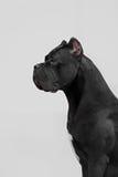 O retrato do cão italiano do bastão-corso foto de stock