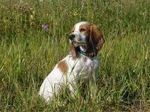 O retrato do cachorrinho vermelho e branco de assento do spaniel fotografia de stock royalty free