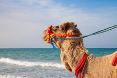 O retrato do camelo com fundo do mar imagens de stock royalty free