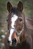 O retrato do cavalo Foto de Stock Royalty Free