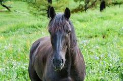 O retrato do cavalo pasta Foto de Stock