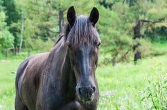 O retrato do cavalo pasta Imagem de Stock