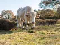 O retrato do charolês acobarda o passeio na natureza, Países Baixos Fotografia de Stock