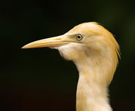 O retrato do close-up do egret de gado na obscuridade borrou o fundo fotografia de stock royalty free
