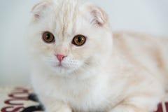 o retrato do close up do scottish dobra o gatinho 4 meses Fotos de Stock Royalty Free