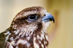 O retrato do falcão tomado no jardim zoológico Imagens de Stock