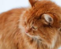 O retrato do gato macio do gengibre na neve, gato olha afastado Imagens de Stock Royalty Free