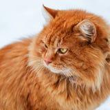 O retrato do gato macio do gengibre na neve, gato olha o 1:1 ausente Fotografia de Stock Royalty Free