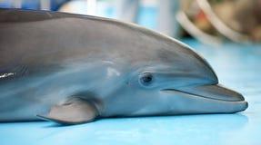 O retrato do golfinho pequeno imagens de stock royalty free